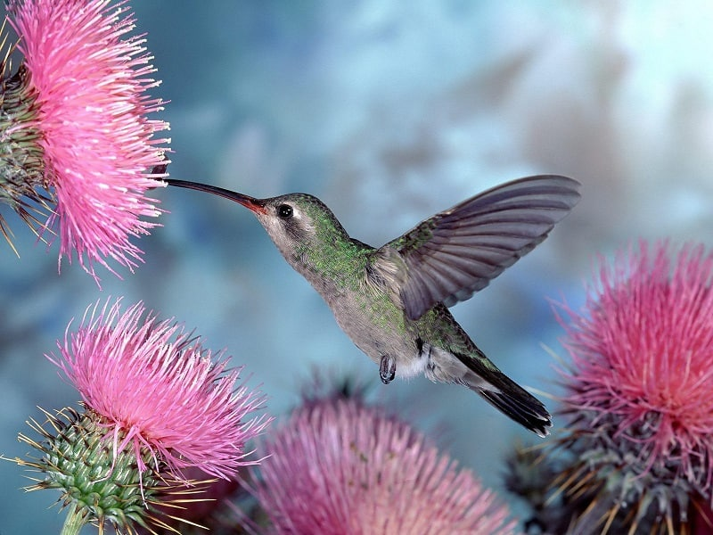 Kolibri-Ptitsa-11