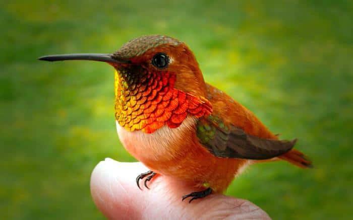 Kolibri-Ptitsa-19
