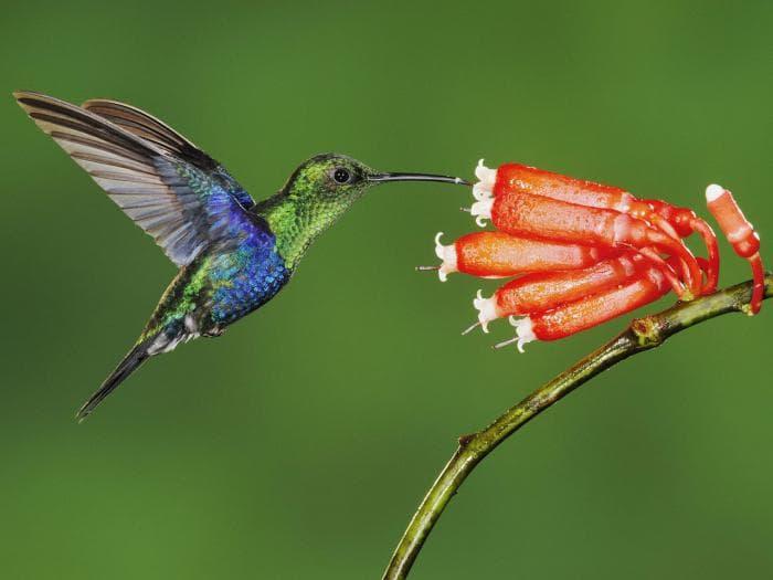 Kolibri-Ptitsa-20