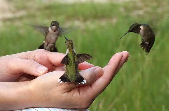 Kolibri-Ptitsa-28