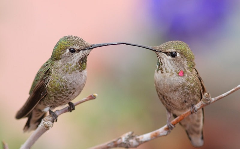 Kolibri-Ptitsa-34