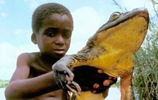 Лягушка-голиаф