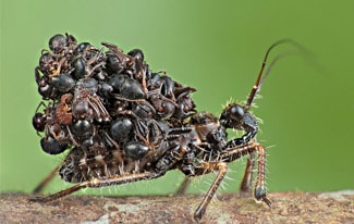 Малазийский жук-убийца