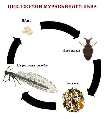 Muravinyiy-Lev-TSikl-ZHizni