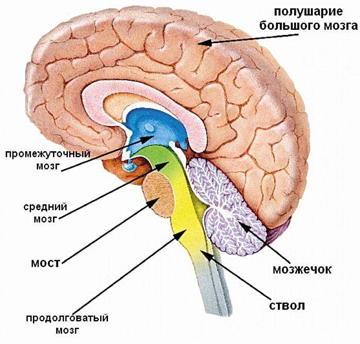 Otdelyi-golovnogo-mozga