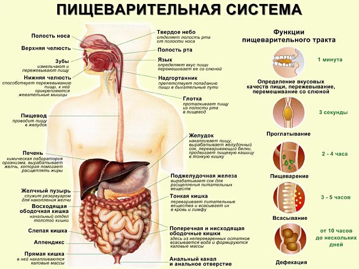 Pishhevaritelnaya-sistema-cheloveka