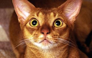 Почему нельзя смотреть в глаза кошке