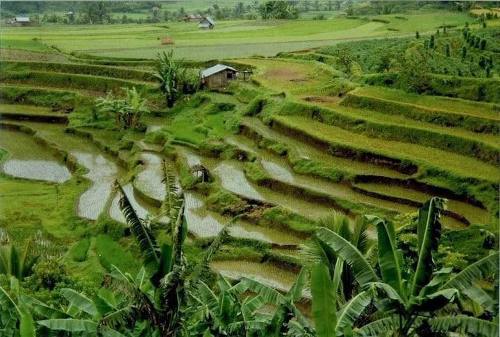 Risovyie-sklonyi-v-Zapadnoy-Sumatre