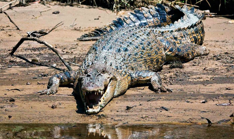 Samyie-opasnyie-zhivotnyie-interesnyefakty.org-Grebnistyiy-krokodil