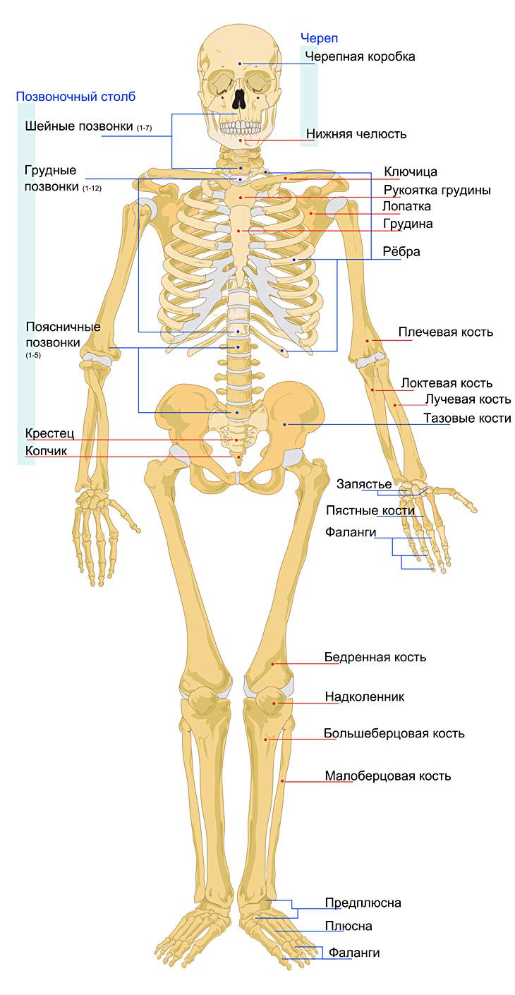 Skelet-cheloveka