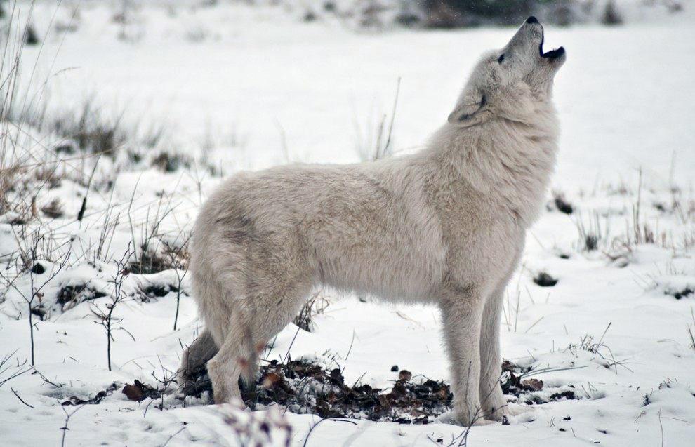 arkticheskie-volki