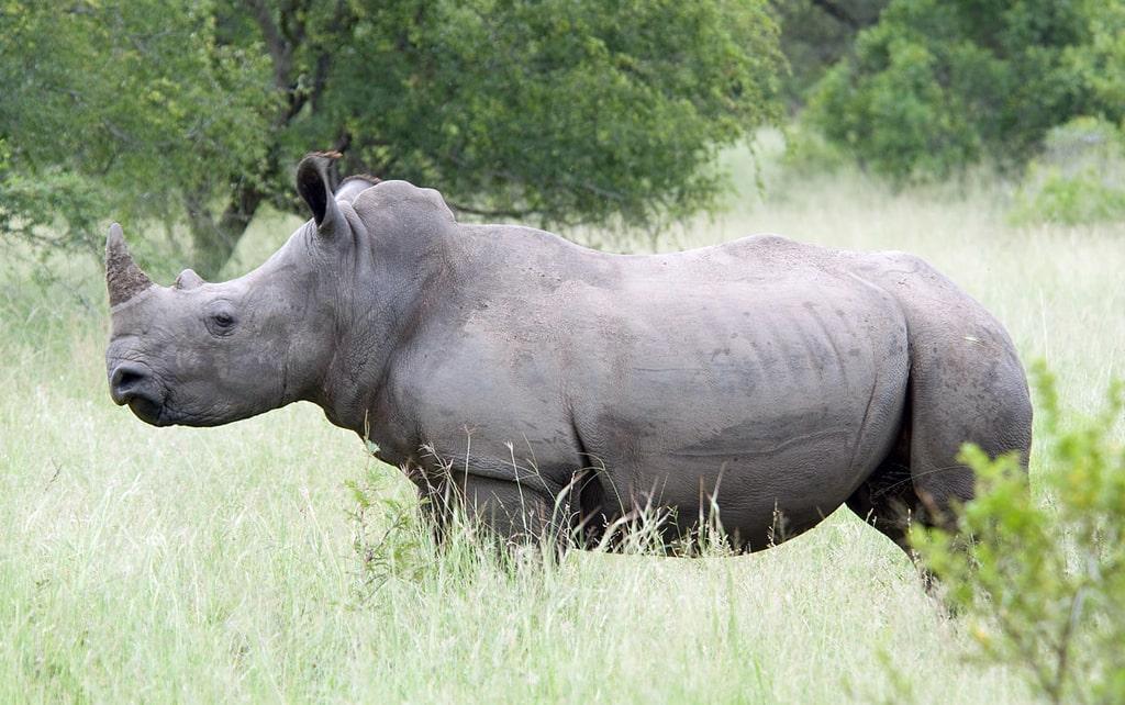 belyj-nosorog