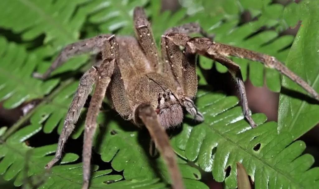 brazilskij-pauk-puteshestvennik