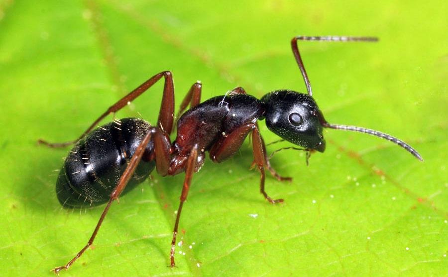 camponotus-herculeanus