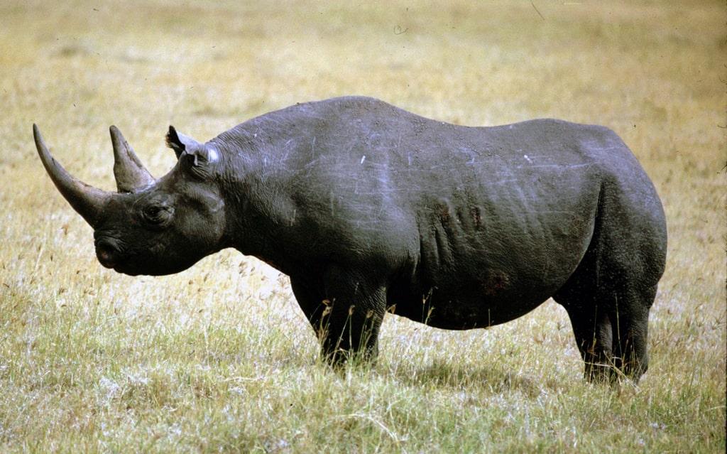 chernyj-nosorog