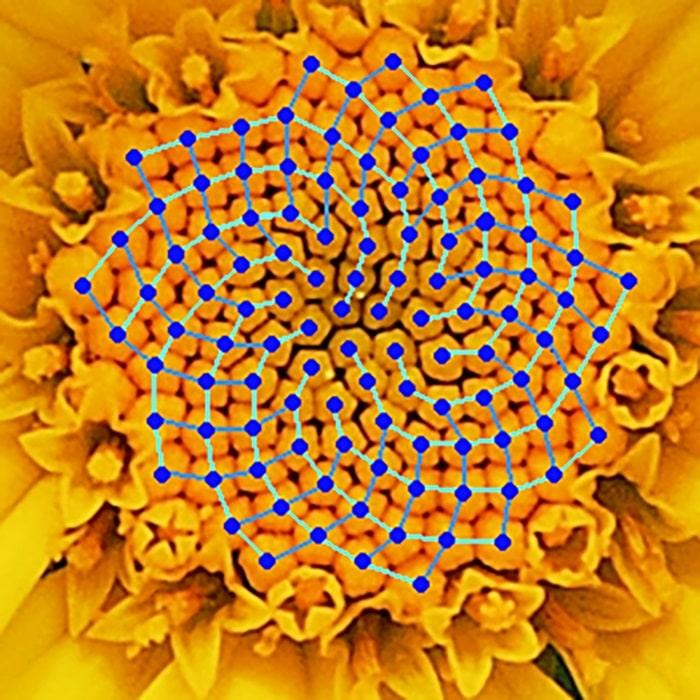 chisla-fibonachchi-vstrechayutsya-u-samyh-raznyh-rastenij