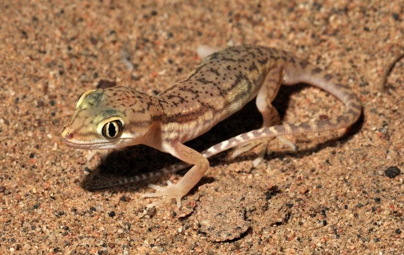 grebnepalyj-gekkon