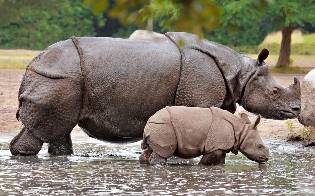 indijskij-nosorog