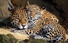 20 интересных фактов о больших кошках