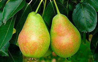 12 интересных фактов о грушах