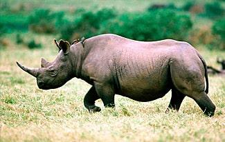 28 интересных фактов о носорогах