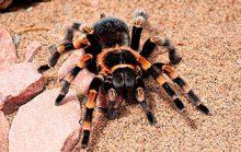 15 интересных фактов о тарантулах