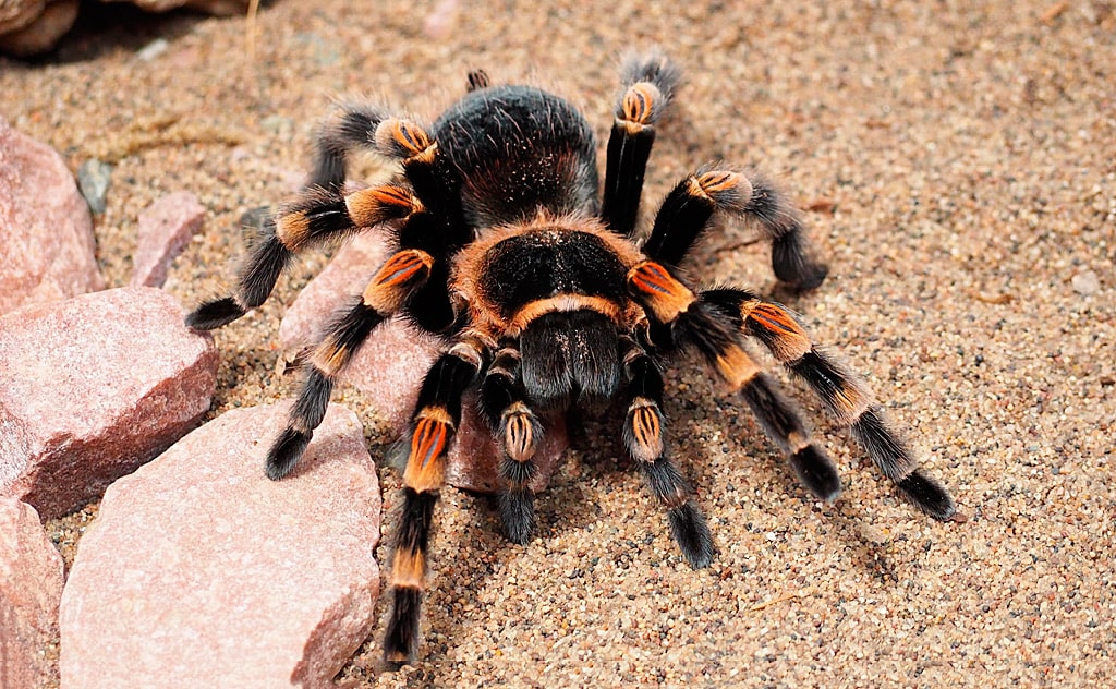 interesnye-fakty-o-tarantulah