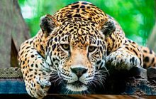 24 интересных факта о ягуарах