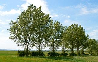 12 интересных фактов об осинах