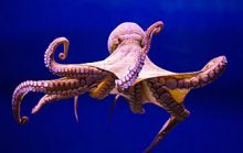 17 интересных фактов об осьминогах
