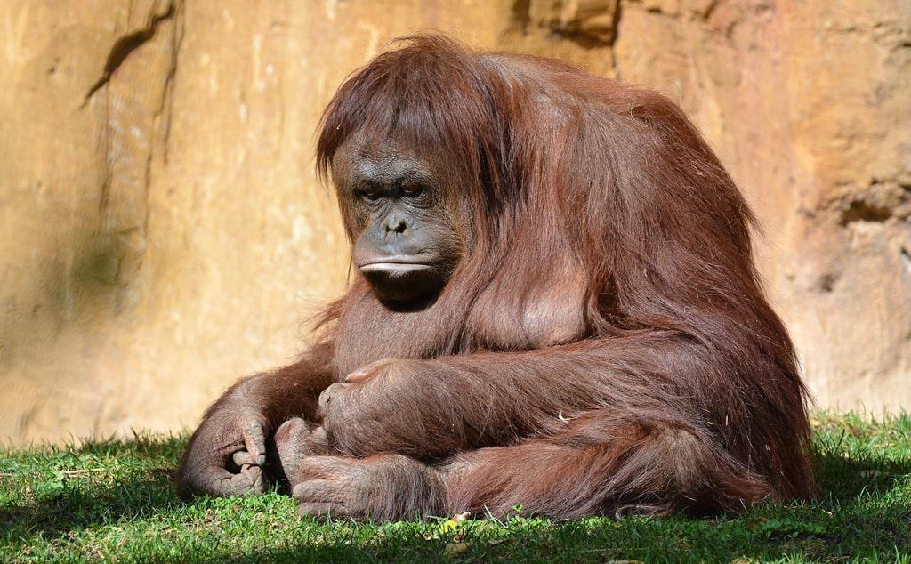 kalimantanskij-orangutan