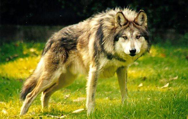 kenajskij-volk