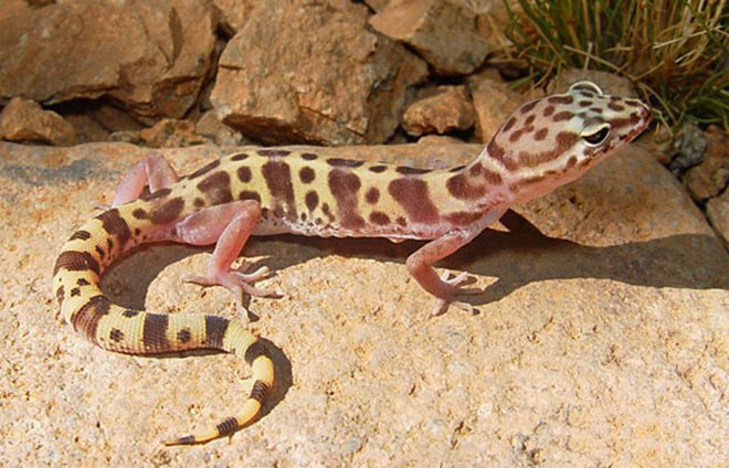 lentochnyj-gekkon