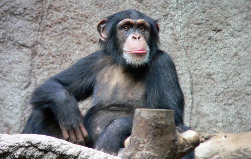 obyknovennyj-shimpanze