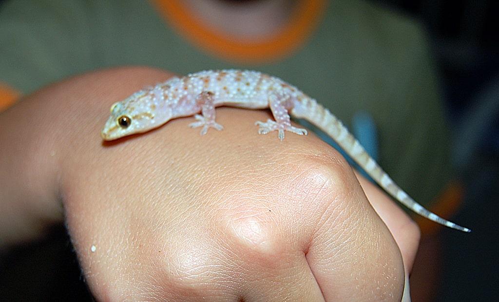 polupalyj-gekkon