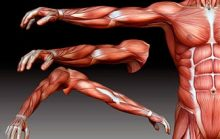 Самые большие мышцы человека