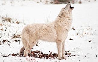 Самые большие волки