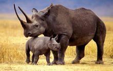 Самый большой носорог