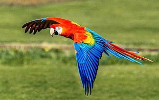 Самый большой попугай