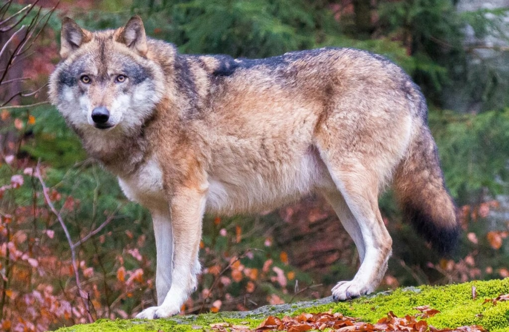 seryj-volk
