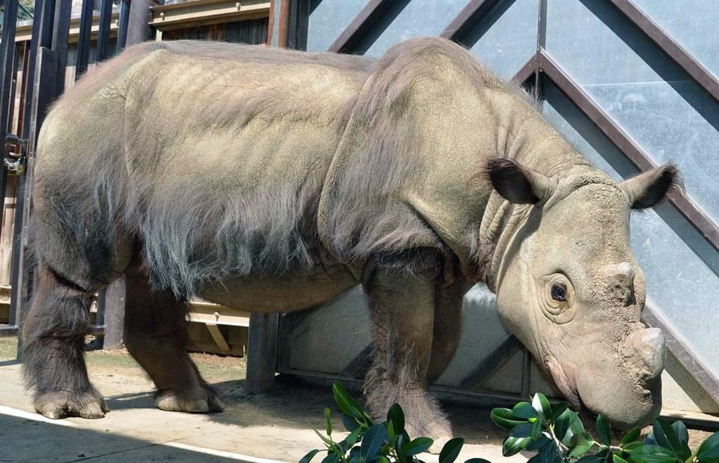 sumatranskie-nosorogi
