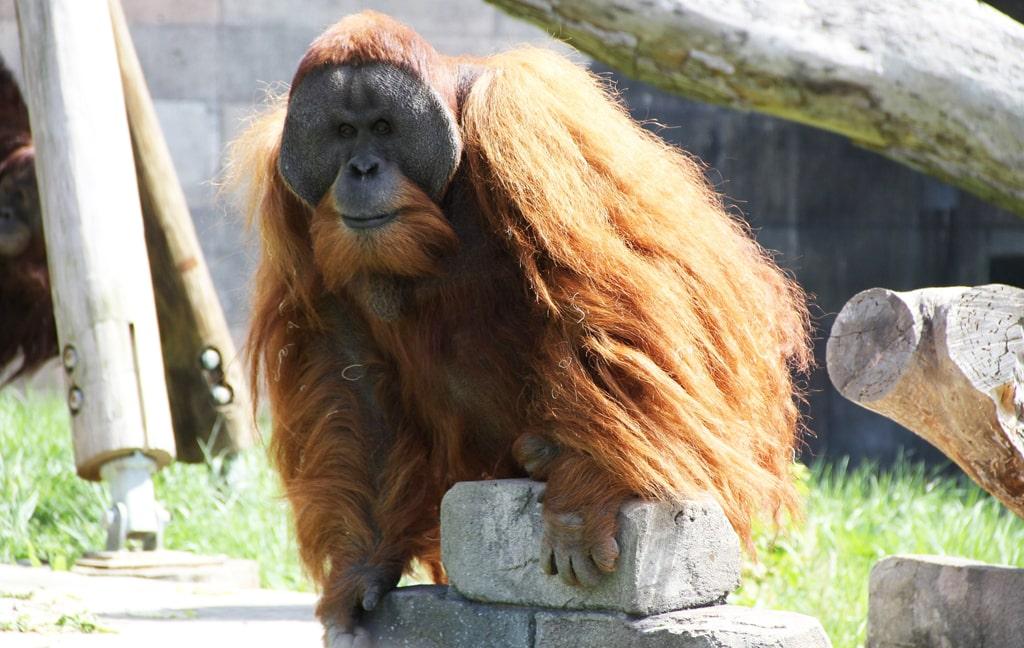 sumatranskie-orangutany