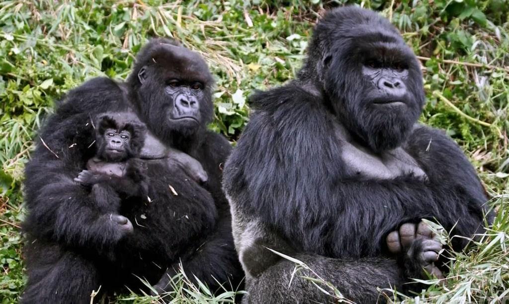 vostochnye-gorilly