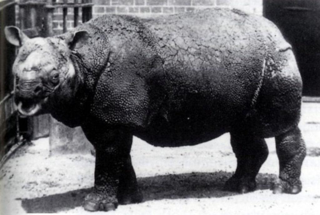 yavanskij-nosorog