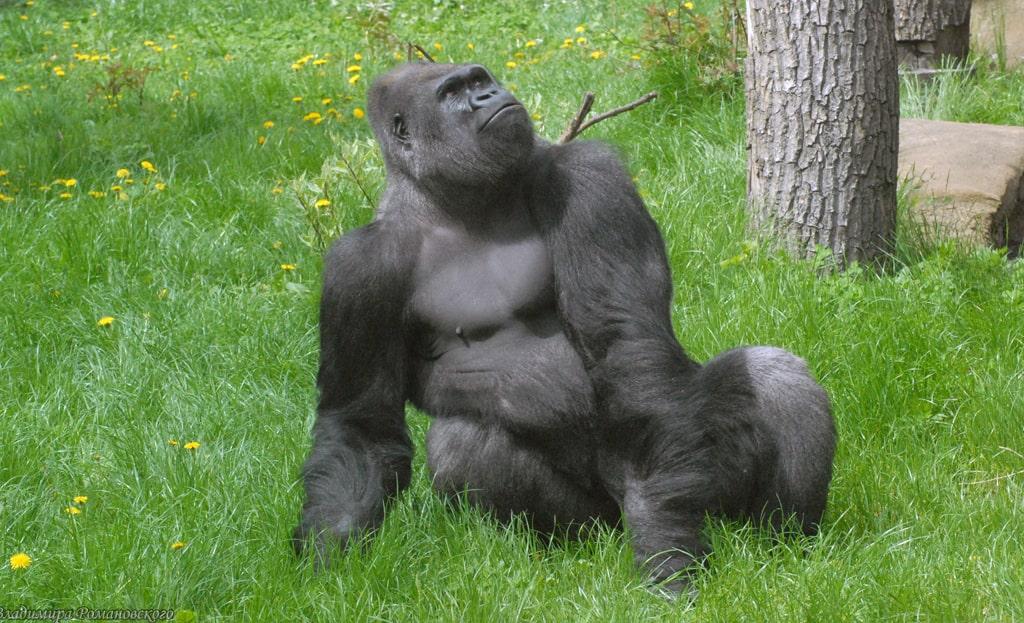 zapadnaya-gorilla