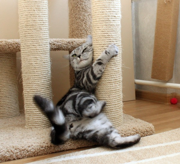 Интересные факты о кошках (4)