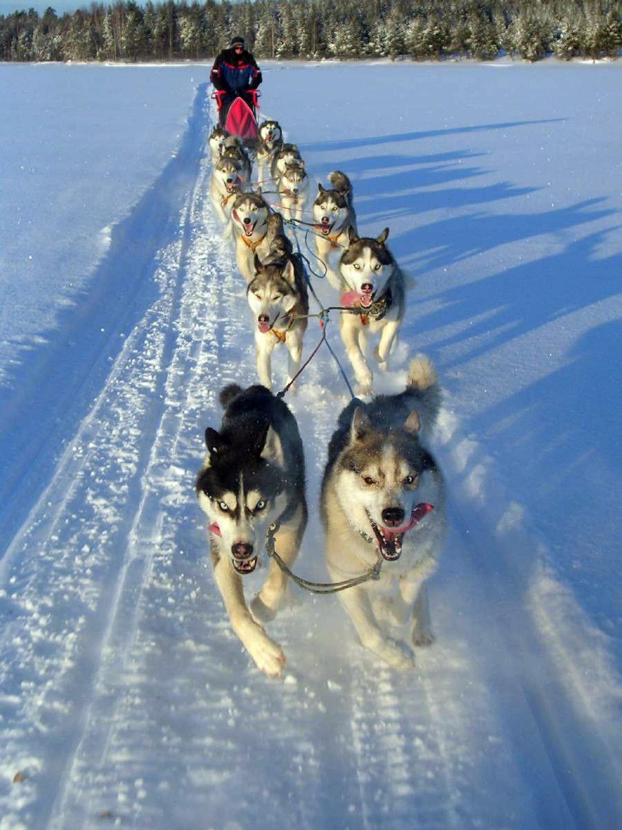2. Упряжка из 10 ездовых собак