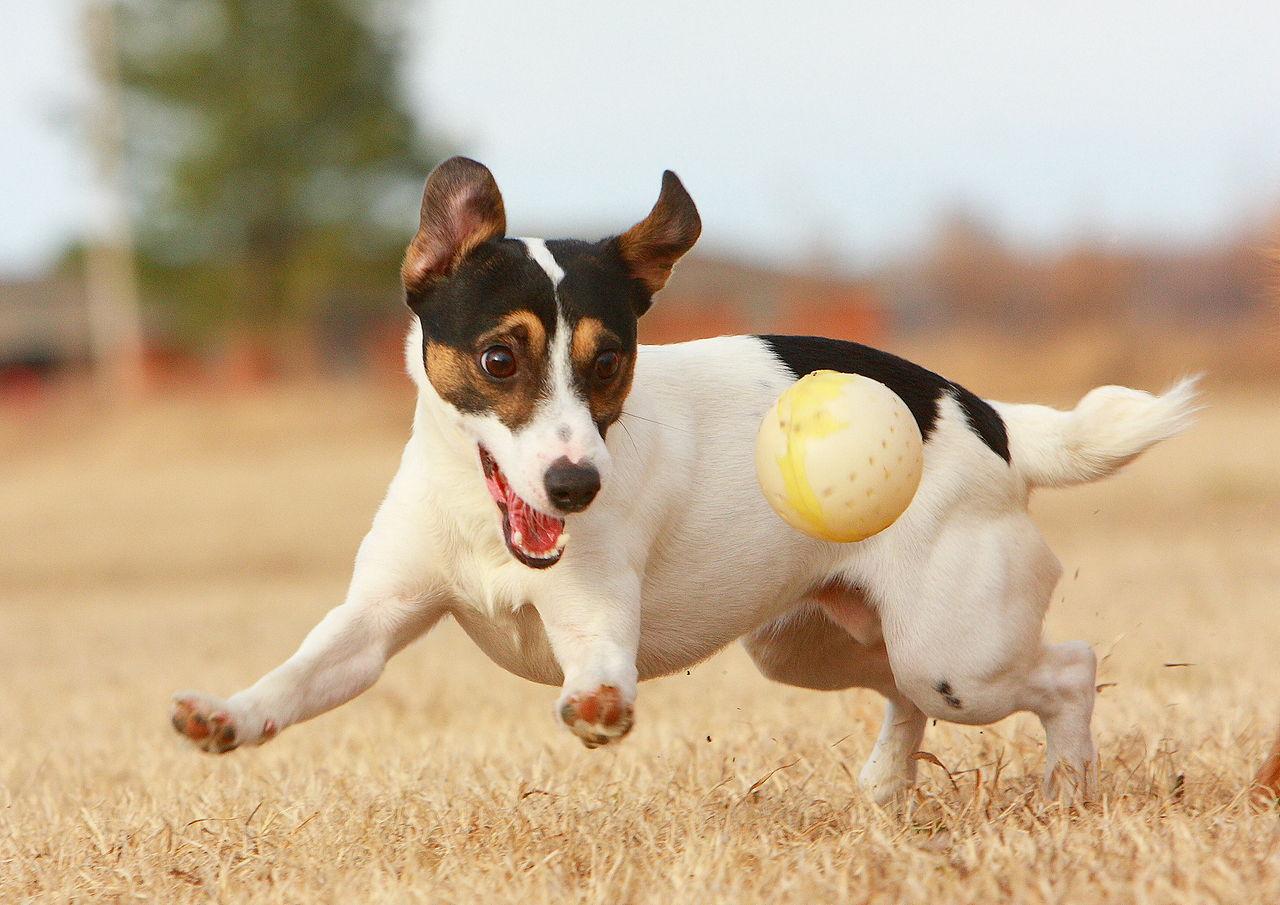 4. Джек-рассел-терьер с мячиком