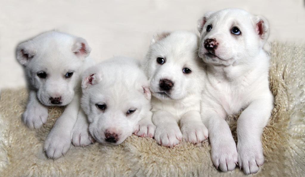 8. Интересные факты о собаках