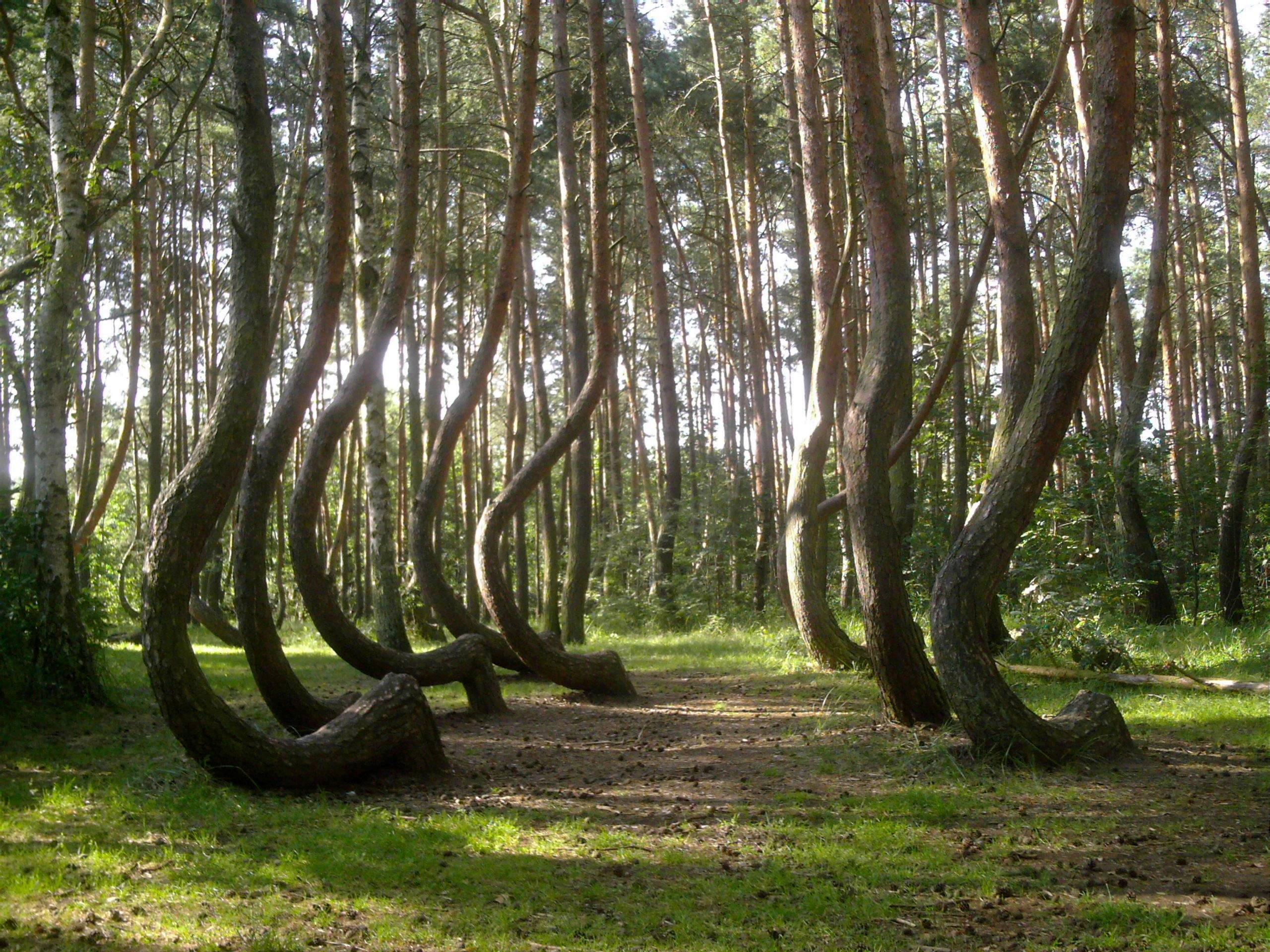 Кривой лес (1)